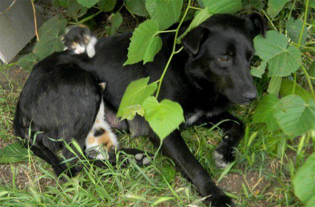Собака усыновила котят