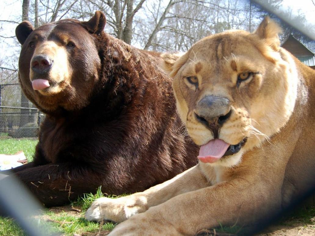 Картинка тигр и медведь