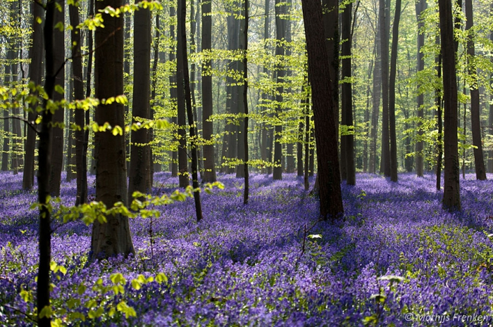 голубой лес в Бельгии