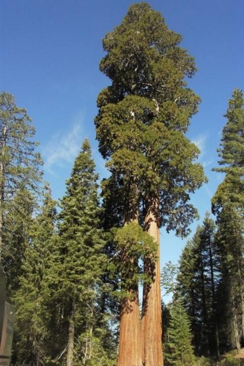 Самые высокие деревья на планете - 8