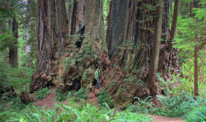 Самые высокие деревья на планете - 5