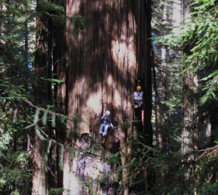 Самые высокие деревья на планете - 9