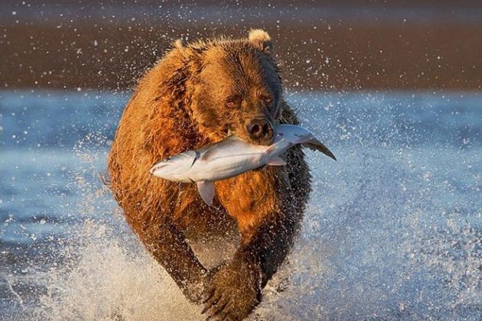 Жизнь медведей на севере