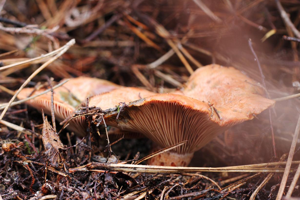 все грибы россии фото нам приходится видеть