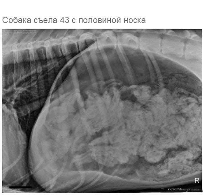 Рентгеновские снимки собак