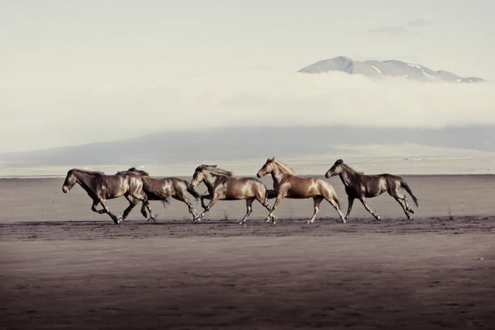 Красота исландских лошадей