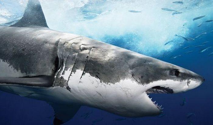 находки в желудках акул