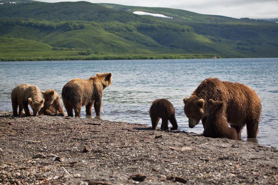 фото курильского белого медведя того чтобы