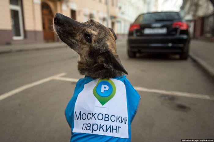 Собаки в помощь парковочной полиции