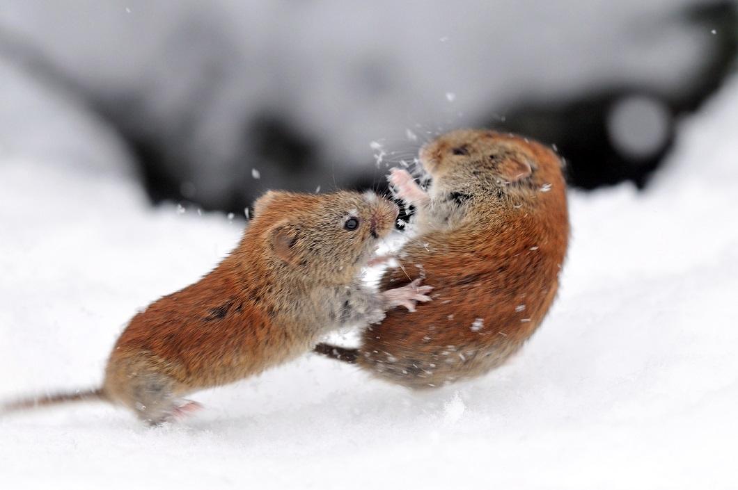 москвича картинки мышей на снегу фото сдаться милость победителя