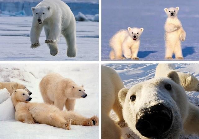 факты о полярных медведях