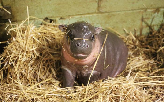 Новорожденный бегемот