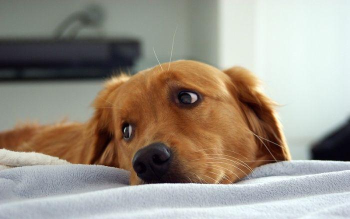 Собака, способная диагностировать рак у людей