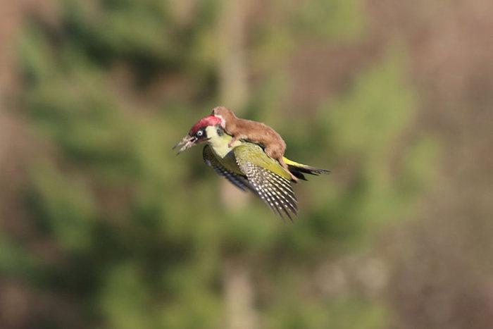 ласка летящая на дятле