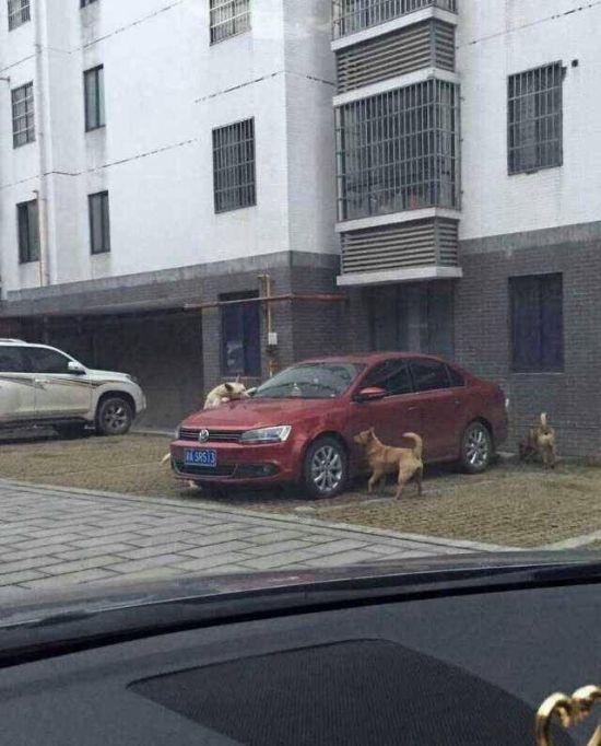 Собаки покусали автомобиль