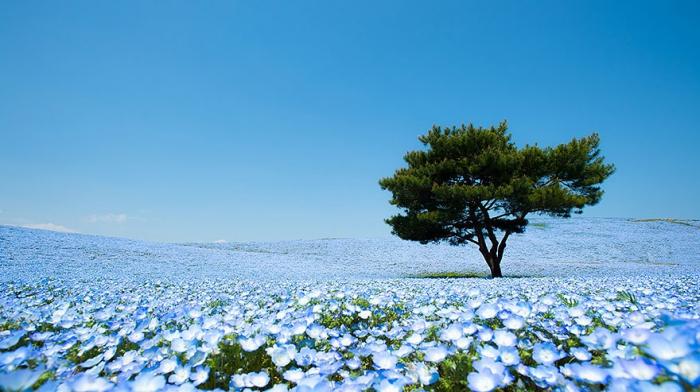 Цветочные поля в японском парке Хитачи