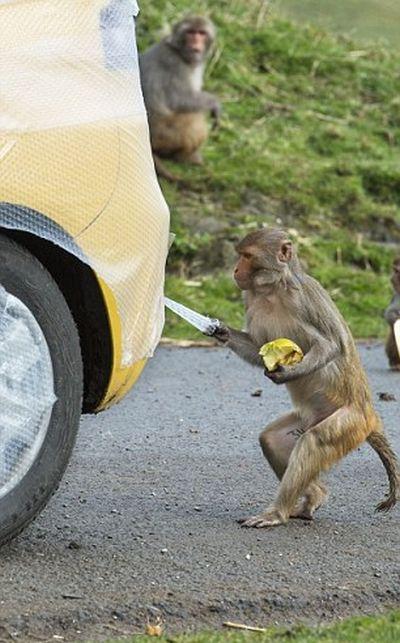 Как защитить свой авто от обезьян?
