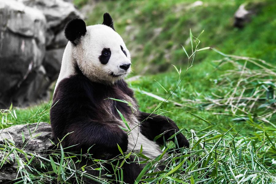 днем фото с пандами милые того, постоянное усовершенствование