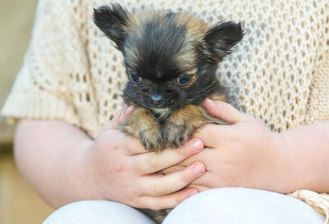 картинки собака самых маленьких в мире собак