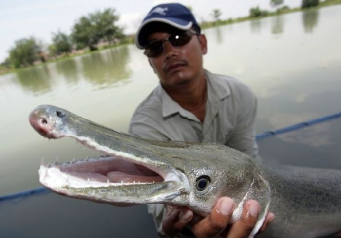 рыба-аллигатор