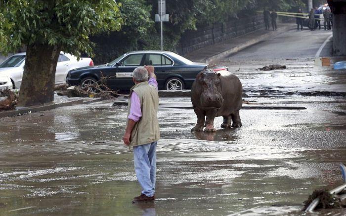 На улицах Тбилиси ловят животных, сбежавших из зоопарка в результате наводн ...