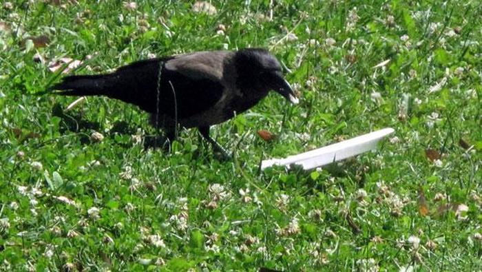 Как вы думаете что сделает эта ворона ?