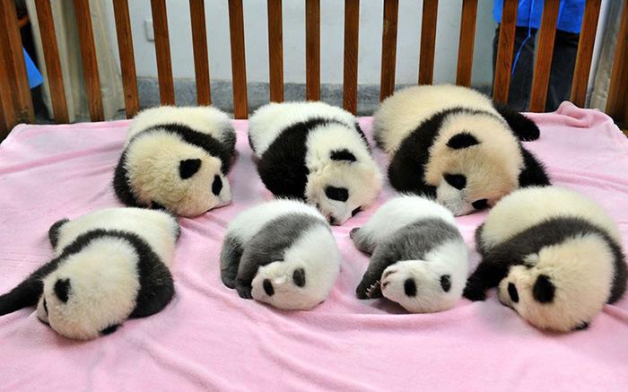 Детский сад для детенышей панд