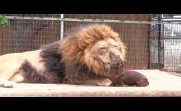 Лев целуется с собакой