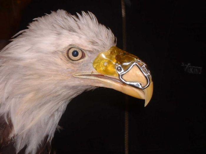 Новый клюв для орла