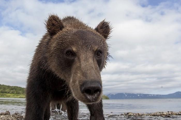 Как фотографируют медведей на Камчатке