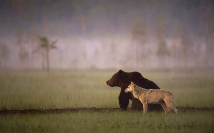 Дружба между медведем и волчицей