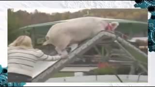 Ржач! Полоса препятствий для свиньи!