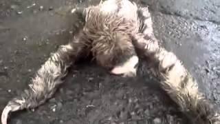Ленивец - няшка