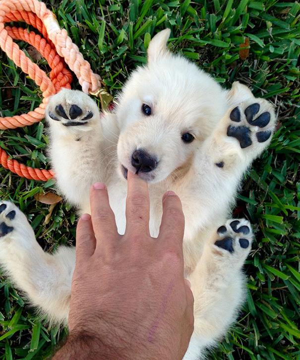 Милые собаки, которые выглядят, как маленькие медвежата