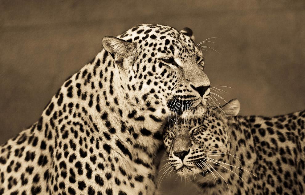 Веселые собачки, картинки леопарды любовь
