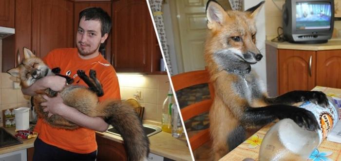 История спасенной лисы