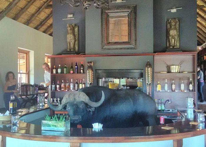 Буйвол искупался в бассейне отеля и заглянул в бар