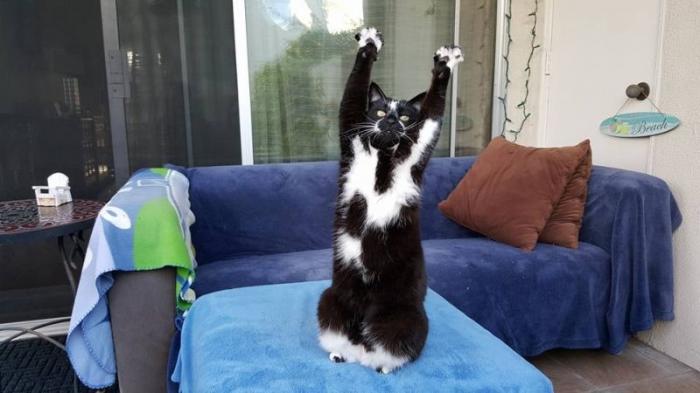 Кот позирует перед хозяином, поднимая вверх лапы