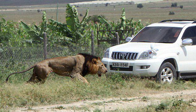 Рейнджеры пристрелили одного из самых излюбленных львов Кении