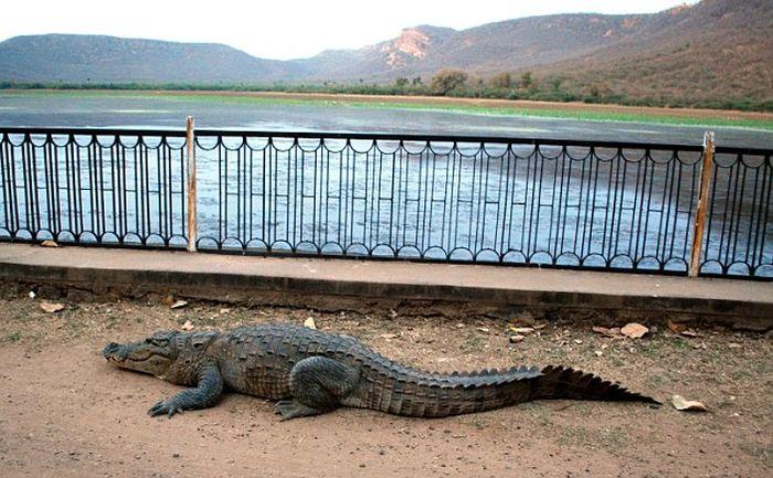 Крокодил перелез через ограждение