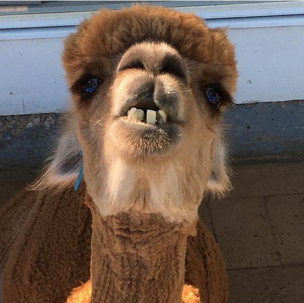 Альпака - необычное домашнее животное