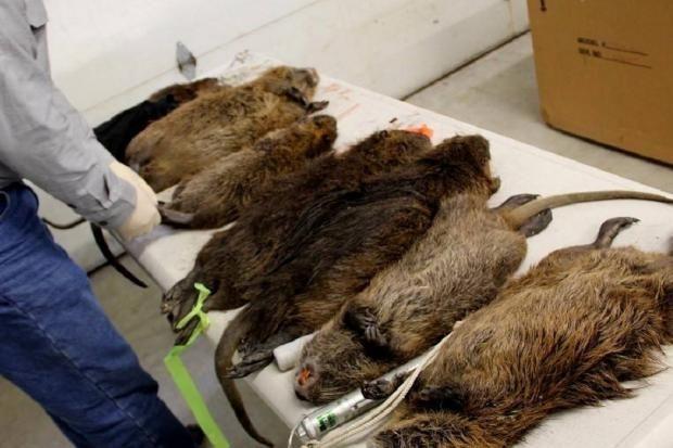 В Англии обнаружено гнездо гигантских крыс-каннибалов