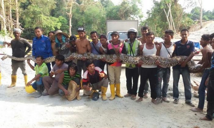 В Малайзии поймали питона, претендующего на звание самой длинной змеи