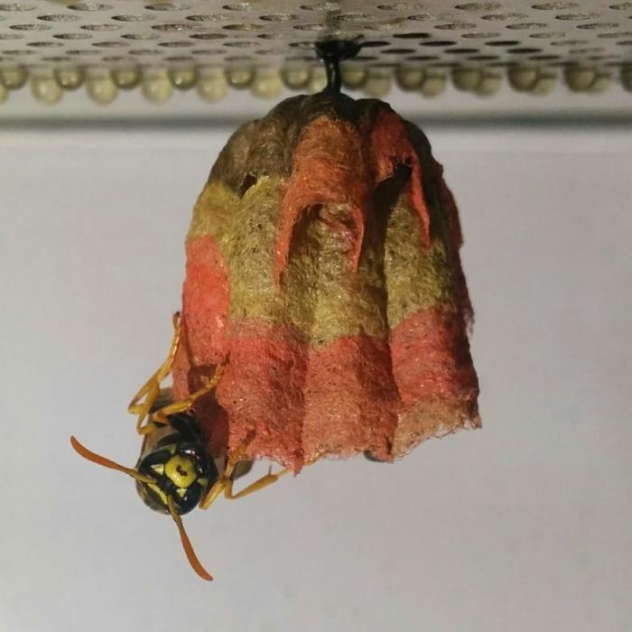 Цветное осиное гнездо