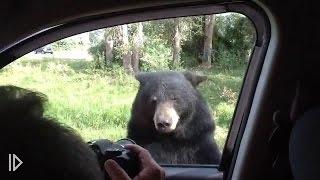 Медведь пытается добраться до туристов