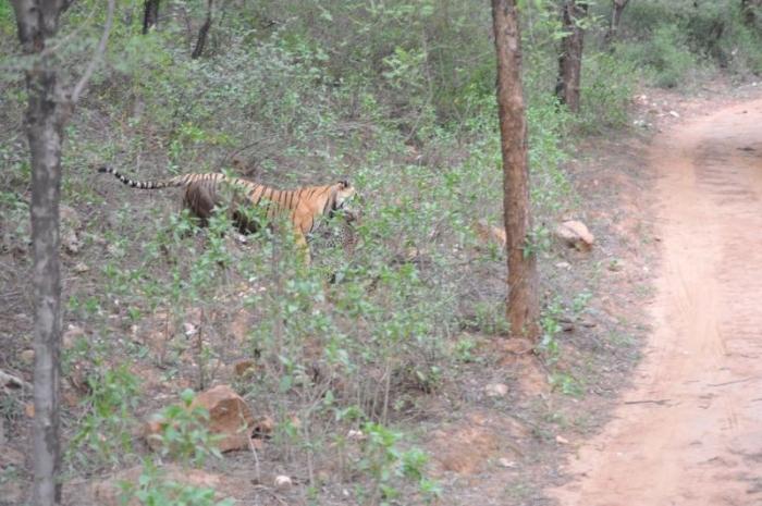 В схватке с тигрицей у леопарда не было шансов