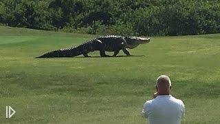 Гигантский аллигатор на поле для гольфа