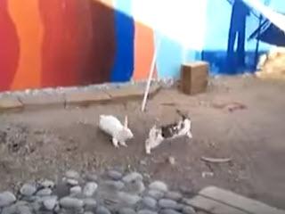 Куры разнимают кроликов