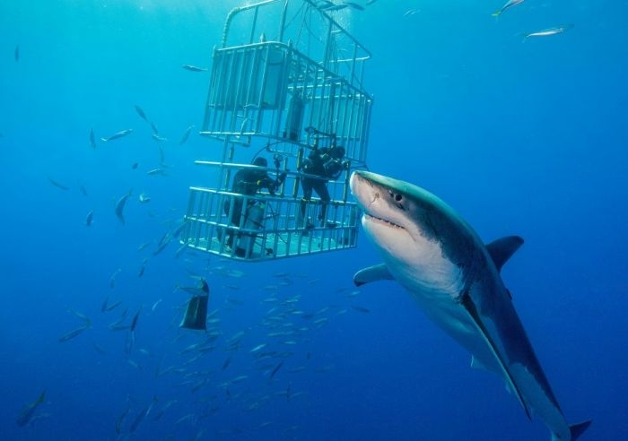 В Карибском море замечена гигантская белая акула