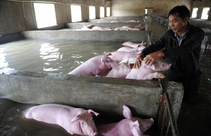 Слезы фермера, вынужденного оставить умирать 6000 своих свиней из-за наводн ...